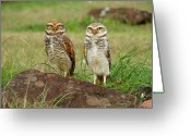 Rio Grande Greeting Cards - Burrowing Owl Greeting Card by Antonello