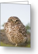 Burrowing Owl Greeting Cards - Burrowing Owl At Burrow Berkeley Greeting Card by Sebastian Kennerknecht