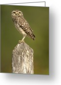 Burrowing Owl Greeting Cards - Burrowing Owl Athene Cunicularia Adult Greeting Card by Pete Oxford