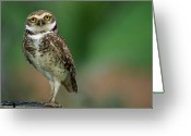 Burrowing Owl Greeting Cards - Burrowing Owl Athene Cunicularia Greeting Card by Luciano Candisani