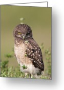 Burrowing Owl Greeting Cards - Burrowing Owl Fledgling III Greeting Card by Clarence Holmes