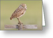 Burrowing Owl Greeting Cards - Burrowing Owl III Greeting Card by Clarence Holmes