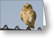 Burrowing Owl Greeting Cards - Burrowing Owl On Fence Alviso California Greeting Card by Sebastian Kennerknecht