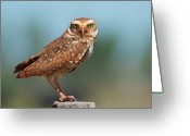 Camera Greeting Cards - Burrowing Owl Greeting Card by Peter Schoen