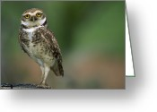 Burrowing Owl Greeting Cards - Burrowing Owl Portrait Greeting Card by Luciano Candisani