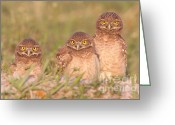 Vertebrate Greeting Cards - Burrowing Owl Siblings Greeting Card by Clarence Holmes