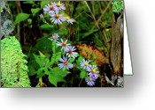 Aster  Photo Greeting Cards - Bushy Aster in Sumac Grove Greeting Card by Thomas R Fletcher