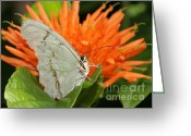 Gossamer Greeting Cards - Butterflies Love Orange Flowers Greeting Card by Sabrina L Ryan
