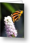 Photographer Photographs Photographs Greeting Cards - Butterfly 2 Greeting Card by Tom Prendergast