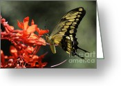 Swallow Tail Butterfly Greeting Cards - Butterfly 3 Greeting Card by Bob Christopher