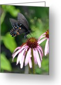 Marty Koch Greeting Cards - Butterfly and Coine Flower Greeting Card by Marty Koch
