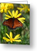 Orange Daisy Photo Greeting Cards - Butterfly and yellow flowers Greeting Card by Rebecca Margraf