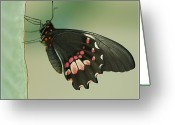 Natural Pattern Greeting Cards - Butterfly At Rest Greeting Card by ©Joanne Hamblin