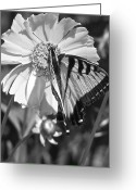 Designer Butterfly Works Photo Greeting Cards - Butterfly Collection Black White Greeting Card by Debra     Vatalaro