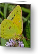 Designer Butterfly Works Photo Greeting Cards - Butterfly Collection Macro Greeting Card by Debra     Vatalaro