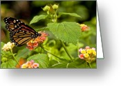Feed Greeting Cards - Butterfly on a Flower Greeting Card by Alexander Mendoza