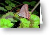 Antenna Greeting Cards - Butterfly on Geranium Leaf Greeting Card by Kaye Menner