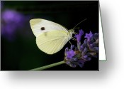 Animal Themes Greeting Cards - Butterfly On Lavender Flower Greeting Card by Annfrau