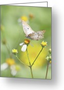 Wildflower Photography Greeting Cards - Butterfly On Wildflower Greeting Card by Kim Hojnacki