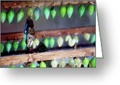 Cocoons Greeting Cards - Butterfly With Butterfly Chrysalis 1 Greeting Card by Andee Photography