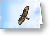 Buzzard Photo Greeting Cards - Buzzard In Flight Greeting Card by Marcel ter Bekke