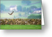 Buzzard Wings Greeting Cards - Buzzard Greeting Card by Peak District Online .co.uk