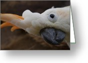 Exotic Birds Greeting Cards - Cacatua sulphurea citrinocristata - Citron Crested Cockatoo Greeting Card by Sharon Mau