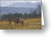 Rut Greeting Cards - Cades Cove White-tail - D007884 Greeting Card by Daniel Dempster