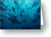 Large Group Greeting Cards - Caged Bluefin Tuna Are Being Fattened Greeting Card by Brian J. Skerry