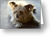 Cairn Terrier Greeting Cards - Cairn Terrier  Greeting Card by Saija  Lehtonen