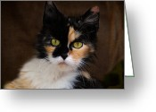 Calico Cat Greeting Cards - Calico Cat Portrait Greeting Card by Jai Johnson