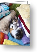 Animals Greeting Cards - Calico kitten on towels Greeting Card by Garry Gay