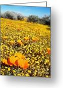 Spring-blooming Greeting Cards - California Poppy Patch Greeting Card by Glenn McCarthy Art and Photography