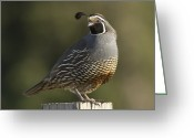 Santa Cruz Valley Greeting Cards - California Quail Male Santa Cruz Greeting Card by Sebastian Kennerknecht