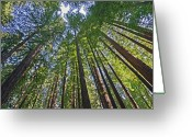 Redwood Greeting Cards - California Redwood Forest Greeting Card by Brendan Reals
