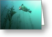 Seal Greeting Cards - California Sea Lion In Kelp Greeting Card by Steven Trainoff Ph.D.