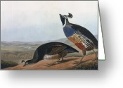Drawing Of Bird Greeting Cards - Californian Partridge Greeting Card by John James Audubon