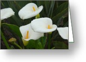 Lilies Flowers Greeting Cards - Calla Calypso Greeting Card by Suzanne Gaff