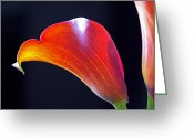 Spring Photo Greeting Cards - Calla Colors and Curves Greeting Card by Rona Black