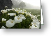 San Francisco Bay Greeting Cards - Calla Lilies Zantedeschia Aethiopica Greeting Card by Keenpress