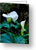 Stamen Greeting Cards - Calla Lily - Zantedeschia Aethiopica Greeting Card by Kaye Menner