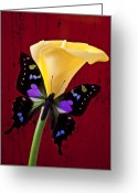 Calla Lilies Greeting Cards - Calla lily and purple black butterfly Greeting Card by Garry Gay