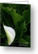 Rose Photos Greeting Cards - Calla Lily Greeting Card by Curtis Cunningham