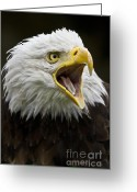 National Bird Greeting Cards - Calling Bald Eagle - 4 Greeting Card by Heiko Koehrer-Wagner