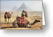 Arid Climate Greeting Cards - Camel And Pyramids, Caro, Egypt. Greeting Card by Oudi
