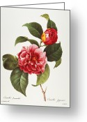 Redoute Greeting Cards - Camellia, 1833 Greeting Card by Granger