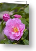 Theaceae Greeting Cards - Camellia Camellia X Williamsii Donation Greeting Card by VisionsPictures