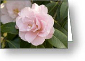 Puddle Greeting Cards - Camellia X Williamsii charles Puddle Greeting Card by Adrian Thomas