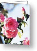 Donation Greeting Cards - Camellia X Williamsii donation Greeting Card by Archie Young