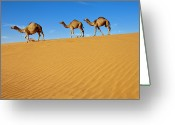 Three Animals Greeting Cards - Camels Walking On Sand Dunes Greeting Card by Saudi Desert Photos by TARIQ-M